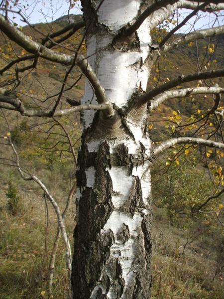 Downy Birch Betula Pubescens Bare Root Hedging Amp Fruit Delivered To Your Door Barrys