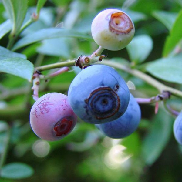 Blueberries - Bluecrop (Potted)