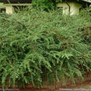 Cotoneaster - Cotoneaster horizontalis (Potted)