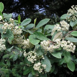 Cotoneaster - Cotoneaster lacteus (Potted)
