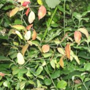 Spindle - Euonymus europaeus (Bare Root)