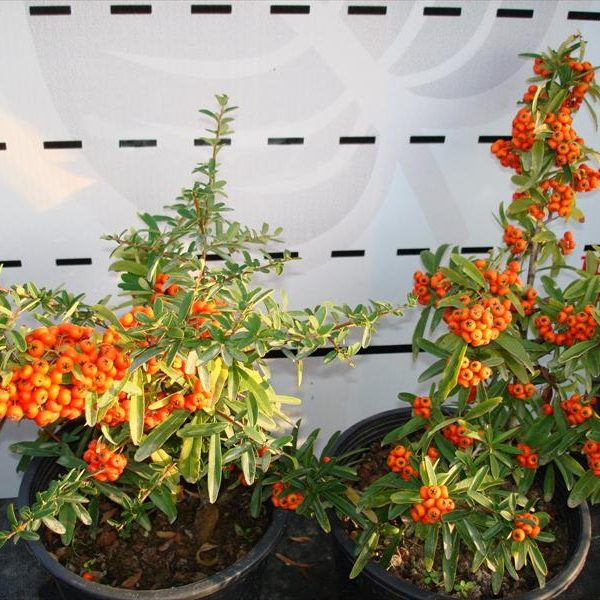 Firethorn - Pyracantha Golden Charmer (Potted)
