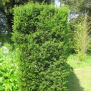 Yew - Taxus Baccata (Bare Root)